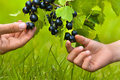 Two hands, child and women, picking berries of black currant Royalty Free Stock Photo