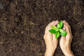 Two hands holding young plant with soil. Royalty Free Stock Photo