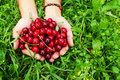 Two hands of woman with ripe cherries on the green grass. Royalty Free Stock Photo
