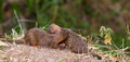 Two happy Dwarf Mongooses Royalty Free Stock Photography