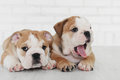 Two happy English bulldog puppy. Royalty Free Stock Photo