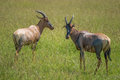Two hartebeest (antelopes) in the Maasai Mara national park (Kenya) Royalty Free Stock Photo