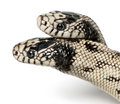 Two headed eastern kingsnake Royalty Free Stock Image
