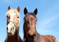 Photo : Two heads of a horses love pulling