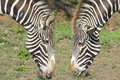Two heads of zebra. Stock Images