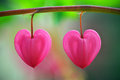 Two heart flower Stock Photography