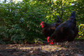 Two hens scratching in the barnyard black austrolorp scratch for food alert for danger Royalty Free Stock Photography