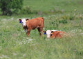 Two Hereford calves Royalty Free Stock Photo