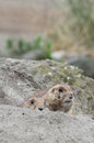 Two hiding prairie dogs genus cynomys behind a hillock while being alert Stock Image