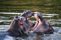 Two hippo's fighting Royalty Free Stock Photo