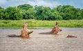 Two Hippopotamus in the waters of Murchison Falls, Uganda Royalty Free Stock Photo