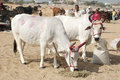 Two holy cows with panted pink horns annual camel mela holiday in Pushkar Stock Images