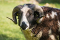 Two horn pedigree Jacob sheep ram head on