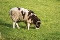 Two horn pedigree Jacob sheep ram