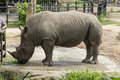 Two horned rhinoceros Royalty Free Stock Photo