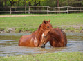 Two horse bath of chestnut colour in a lake Stock Photos