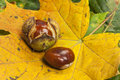 Two Horse chestnuts on foliage Royalty Free Stock Images
