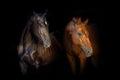 Two Horse Portrait On Black Ba...