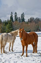 Two horse in winter these are horses one white one brown standing snow with their long coats Stock Photography