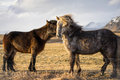 Two Horses being Affectionate in Iceland during Sunset Royalty Free Stock Photo