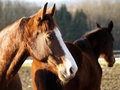 Two horses in the evening sun outside Stock Photo