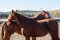 Two horses flirt and play Royalty Free Stock Photo