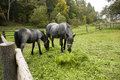 Two horses gray on pasture horse tosses his head green grass in front of him horse fence from wooden logs Stock Images