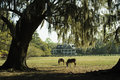 Two horses graze in a s southern garden with Live Oak Trees and Azaleas. Royalty Free Stock Photo