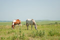 Two horses grazing against vast wide open prairie Stock Images