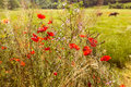 Two horses grazing in a field of poppies Royalty Free Stock Photo