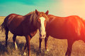 Two horses grazing in the meadow Royalty Free Stock Photo