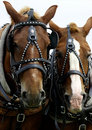 Two Horses' Heads Stock Photography