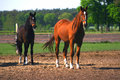 Two horses mare and stallion Royalty Free Stock Images
