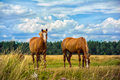 Two horses on the meadow Royalty Free Stock Photo