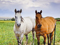 Two Horses, One Brown, One White Stock Photo