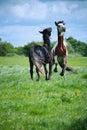Two horses play Royalty Free Stock Photo