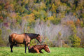 Two horses resting on meadow in Vermont autumn Royalty Free Stock Photo