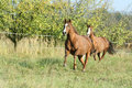 Two horses running on pasturage in autumn quarter Royalty Free Stock Images