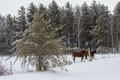 Two horses in a snow covered pasture Royalty Free Stock Photo