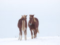 Two horses in the snow young suffolk punch stand a field covered with Stock Photos