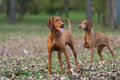 Two hounds female and male brown hound dog exploring environment Royalty Free Stock Photography