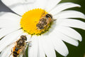 Two Hoverfly on a camomile Royalty Free Stock Photo