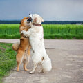 Two hugging dogs funny picture of standing each other Royalty Free Stock Photography