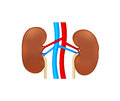 Two human kidney Stock Image