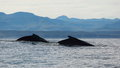 Two humpback whales Stock Image