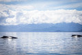Two Humpback Whales In Alaska