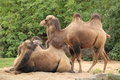 Two-humped camel Royalty Free Stock Photography