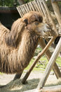 Two humped camel bactrian with long fur in spring Royalty Free Stock Images