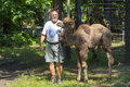 Two humped camel camelus bactrianus walking szeged hungary june training a young in szeged zoo Stock Photos