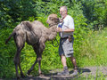 Two humped camel camelus bactrianus walking szeged hungary june training a young in szeged zoo Stock Image